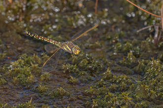 Female common hawker Whixall Moss