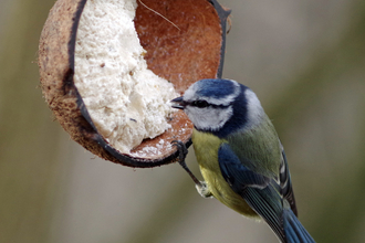 Blue Tit Gillian Day
