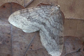 Northern winter moth
