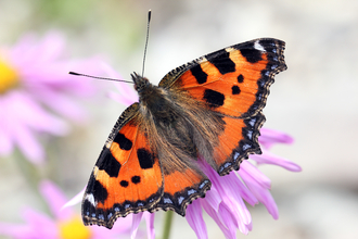 Small tortoiseshell - Jim Higham