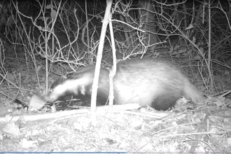 Badger on camera trap