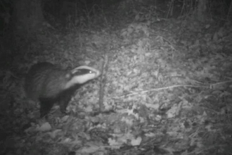 Badger sniffing stick
