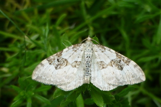 Silver ground carpet moth