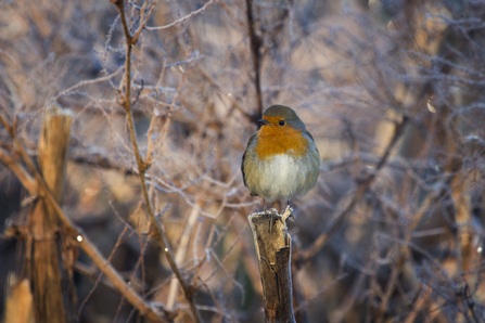 Robin on branch - Chris Lawrence