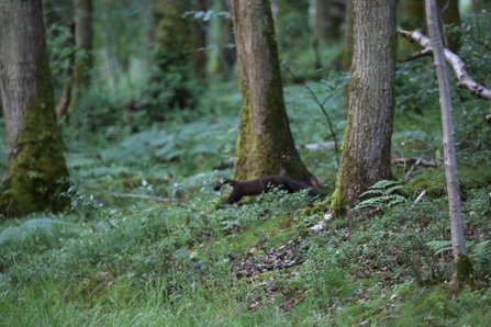 First photo of pine marten - Dave Pearce