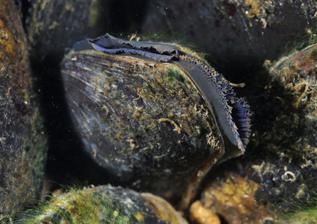 Freshwater Pearl Mussel