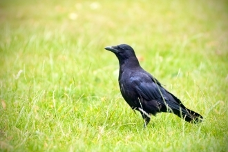 carrion crow corvid medium sized black garden bird