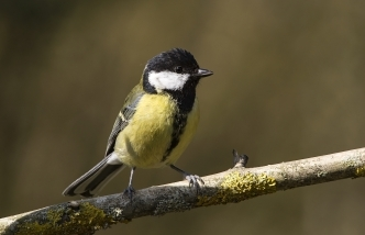 great tit small bird