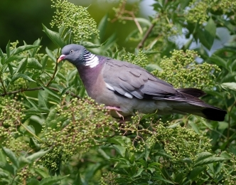 wood pigeon common garden bird