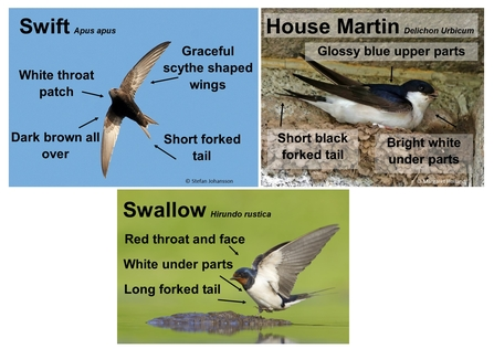 House Martin, Swift, Swallow