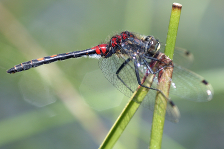 White faced darter