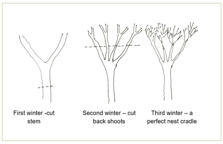 Winter pruning
