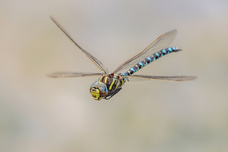 Common Hawker dragonfly in flight