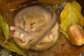 Hibernating Dormouse - Danny Green