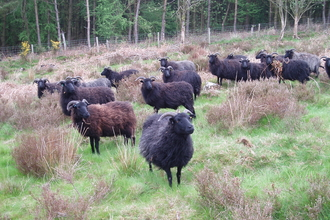 hebridean Sheep, the Stiperstones, Shropshire