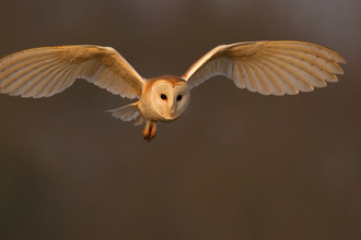 Barn Owl - Andy Rouse/2020Vision