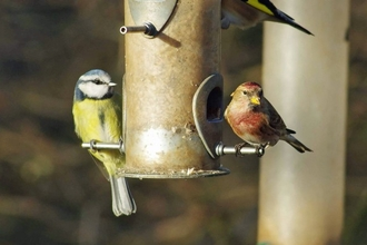 Blue tit and Linnet - Gillian Day