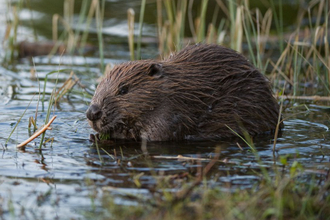 Beaver in shallow water