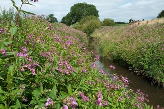 Himalayan balsam along river - credit to GB Non Native Invasive Species Secretariat