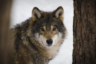 Photo graph of a wolf looking between to trees
