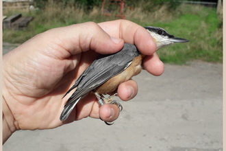 nuthatch held in hand