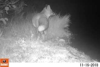 Fox at Pam's on camera trap