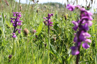 Green winged orchid venus pools