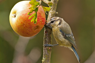 Blue tit and apple