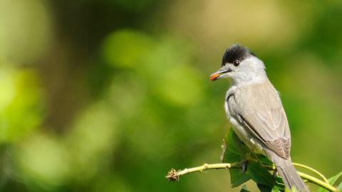 Blackcap male