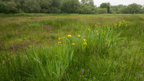 Yellow flag iris on lowland fen
