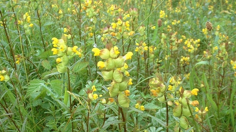 Yellow-rattle