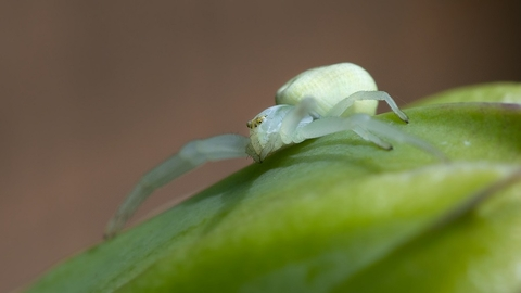 crab spider on leaf