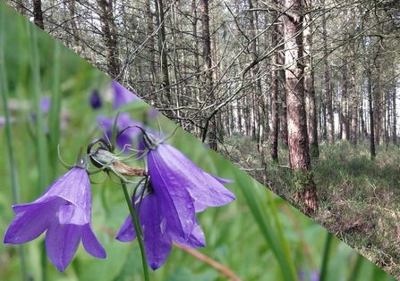 Harebell and woods