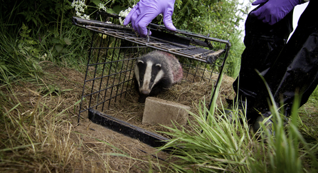Badger vaccination