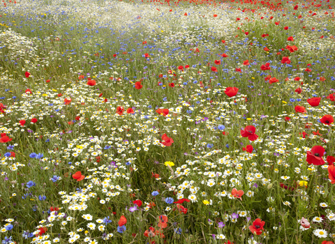 Wildflower meadow - Paul Hobson