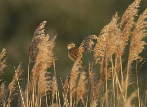 Common reed sedge warbler